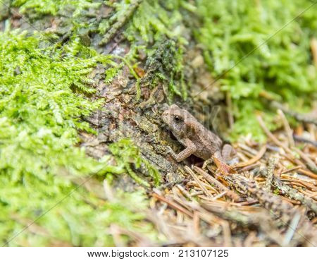 a small common toad in mossy ambiance