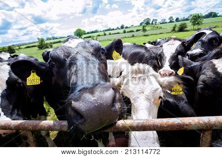 LAKE DISTRICT, UK - JUNE 14, 2016 - Curious cows getting close to the camera on a UK farm