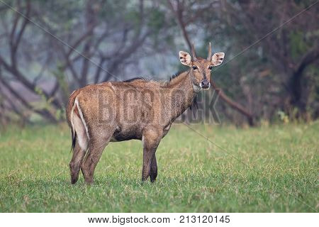 Male Nilgai (boselaphus Tragocamelus) Standing In Keoladeo Ghana National Park, Bharatpur, India