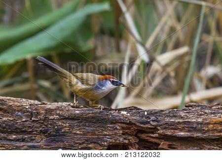 beautiful chestnut-capped babbler resting on log in forest of Thailand