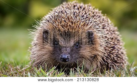 Hedgehog in the autumn forest. Ordinary hedgehog, or European hedgehog (Lat. Erinaceus europaeus). The European hedgehog is one of the most common species of hedgehogs.