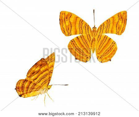 Isolated Dorsal And Side View Of Common Maplet (chersonesia Risa ) Butterfly On White With Clipping