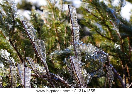 Frozen scrub branch after ice storm. Winter icy weather. Cold crystal detail. Ice coated plant.