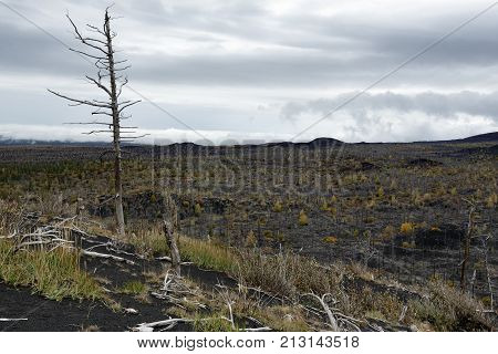 Volcano landscape: Dead Forest (Dead Wood) on Kamchatka Peninsula - consequence of natural disaster - catastrophic eruptions Plosky