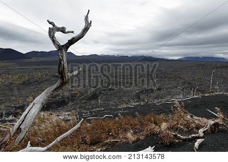 Kamchatka Peninsula volcano landscape: burnt trees (larch) on volcanic slag ash in Dead Wood (Dead Forest) - consequence of natural disaster - catastrophic eruptions Plosky