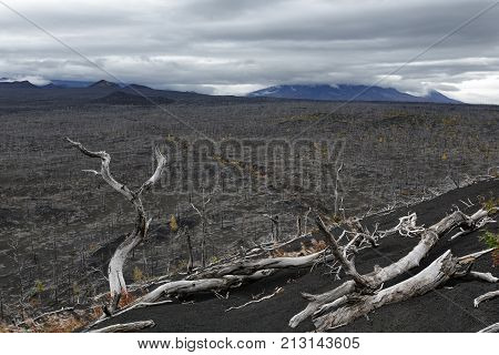 Dead Forest (Dead Wood) on Kamchatka Peninsula - consequence of natural disaster - catastrophic eruptions Plosky