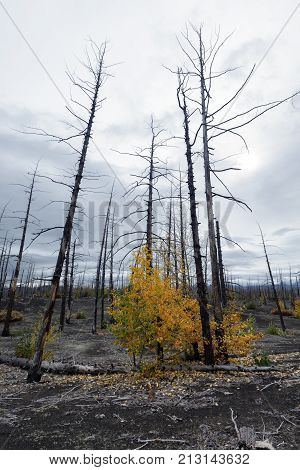 Burnt tree (larch) on volcanic slag ash in Dead Forest (Dead Wood) - consequence of natural disaster - catastrophic eruptions Plosky