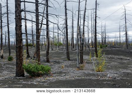 Kamchatka Peninsula volcano landscape: burnt tree (larch) on volcanic slag ash in Dead Forest (Dead Wood) - consequence of natural disaster - catastrophic eruptions Plosky