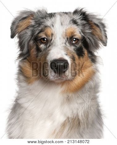 Close-up of Australian shepherd dog, 6 months old, in front of white background