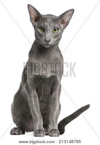 Oriental Shorthair cat, 10 months old, sitting in front of white background