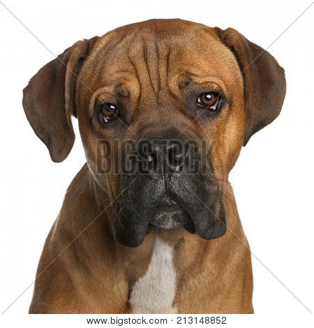 Close-up of Cane Corso, 9 months old, in front of white background