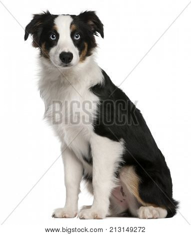 Australian Shepherd puppy, 5 months old, sitting in front of white background