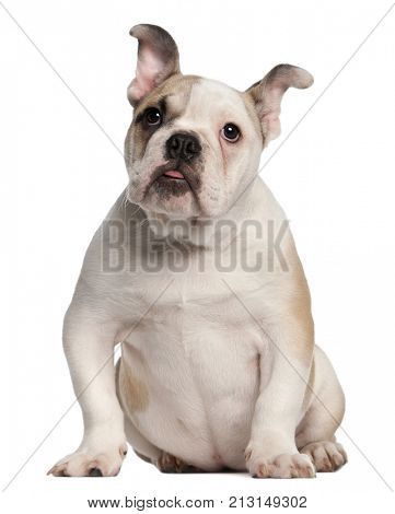 English bulldog, 4 months old, sitting in front of white background