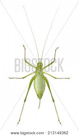 Female Speckled bush-cricket, Leptophyes punctatissima, in front of white background