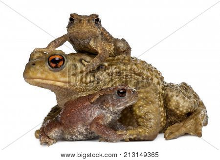 Mother Common toad and her babies, bufo bufo, in front of white background