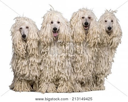 Four White Corded standard Poodles in front of white background