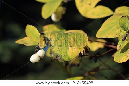 close photo of white berries of snowberry bush (Symphoricarpos albus) in autumn