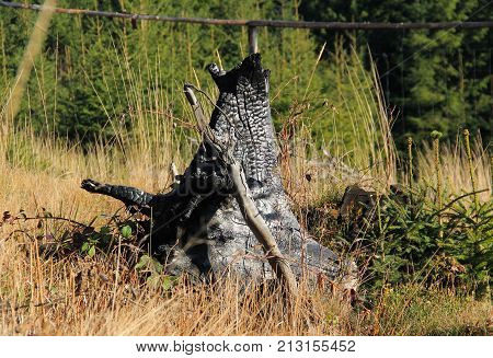 burnt stump of tree in the nature