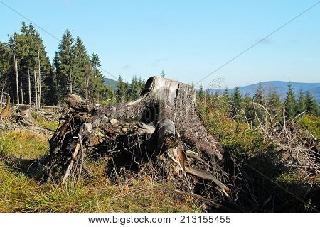 big stump of old tree in the nature