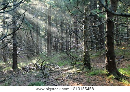 sunbeams shining into the dark eery spruce forest poster