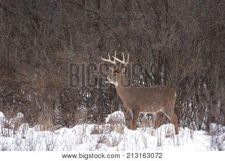White-tailed deer buck standing in the winter snow