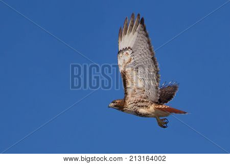 Red-tailed hawk (Buteo jamaicensis) in flight against a blue sky