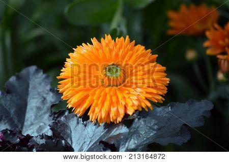 An orange mum flower growing in the garden