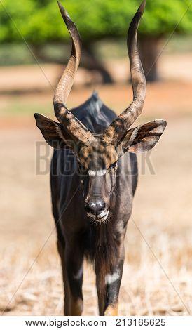 wildlife animal antelope bongo close-up in nature