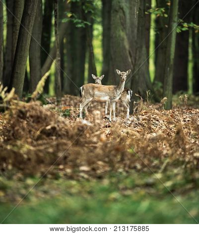 Fallow Deer Mother With Youngster Standing Together In Autumn Forest.