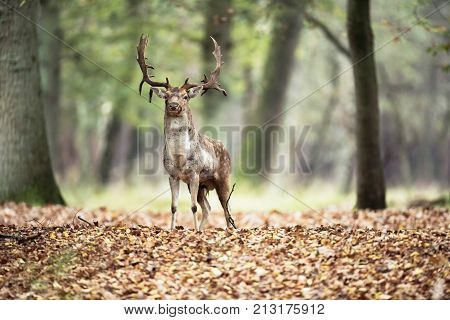 Fallow Deer Buck In Forest In Fall Season.