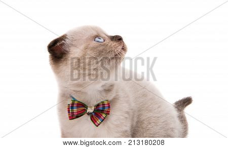 lop-eared kitten animal isolated on white background