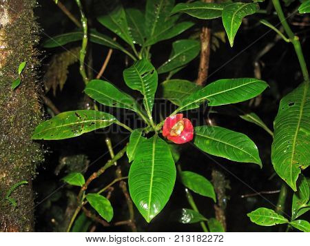 Hookers Lips or Hot Lips flower, Psychotria Elata in Monteverde Cloudforest, Costa Rica. This plant is most recognized for its pair of bright red lip-shaped bracts
