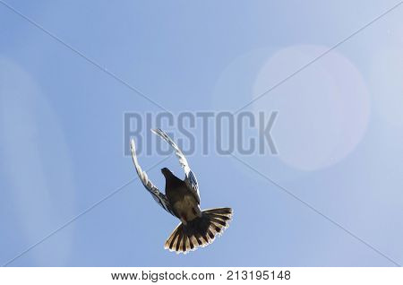 pigeon with spread wings in flying movement