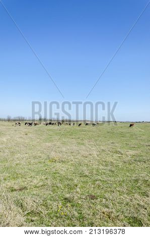 cows on pasture field grazing . cow pasture