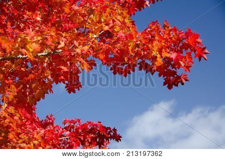 Sugar Maple Branches With Red Leaves During Late Indian Summer - 1