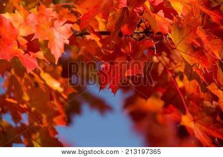 Sugar Maple Branches With Red Leaves During Late Indian Summer - 2