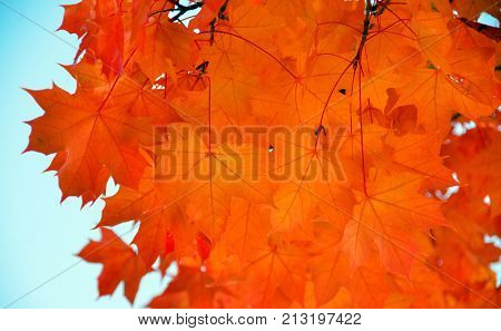 Sugar Maple Branches With Red Leaves During Late Indian Summer - 3