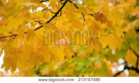 Texture Of Large Yellow Maple Leaves  - 1