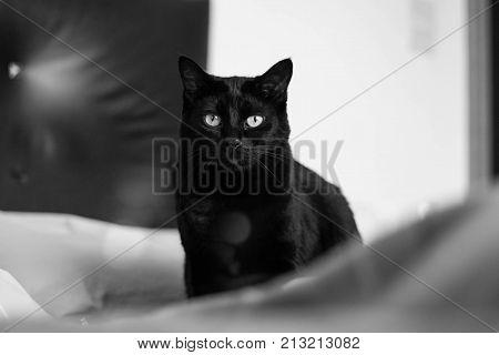 Gato preto lindo olhando a camera atentamente