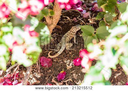 Lizard Hides In Flowers, Varadero, Matanzas, Cuba. Close-up.