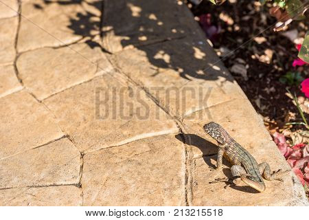 Lizard Basking In The Sun, Varadero, Matanzas, Cuba. Copy Space For Text.