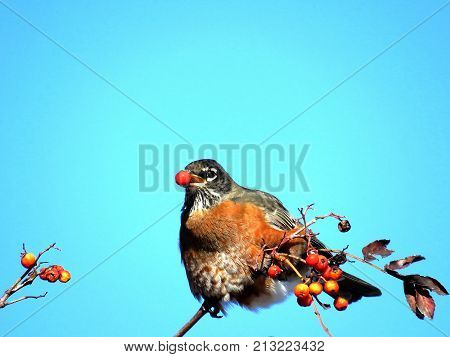 American Robin on a rowanberry branch in forest of Thornhill Canada November 10 2017