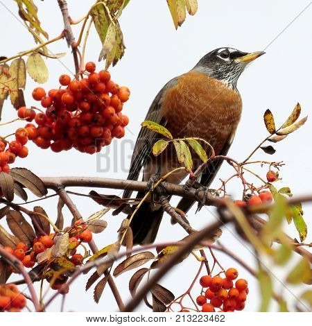 The American Robin on a rowanberry tree in forest of Thornhill Canada November 3 2017