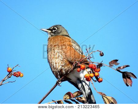 The American Robin on rowanberry branch in forest of Thornhill Canada November 10 2017