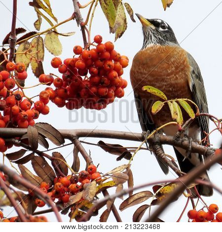 The American Robin on rowanberry tree in forest of Thornhill Canada November 3 2017