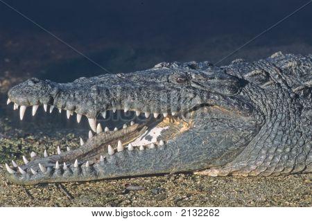 American Crocodile   054 J