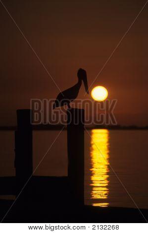 Brown Pelican At Sunrise   006 J