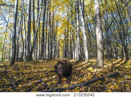 chocolate labrador retriever lies in the forest among the fallen autumn leaves.
