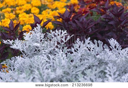 Cineraria Maritima Silver Dust And Dark Red Leaves. Soft Focus Dusty Miller Plant Background.