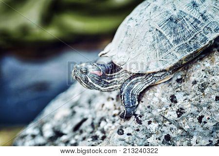 turtle in the natura ,l habitat .